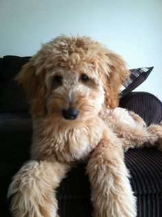 Golden doodle puppy---ugh I can't wait! Cutest Small Dog Breeds, Unique Dog Breeds, Rare Dog Breeds, Puppies And Kitties, Cute Puppies, Cute Dogs, Doggies, Mini Goldendoodle, Labradoodle
