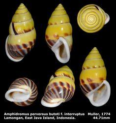 Dr. Lee's Gallery Museum 李啟澤醫師的部落格: Amphidromus perversus f. interruptus 44.71mm