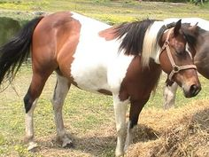 TRI-COLORED PAINT MARE