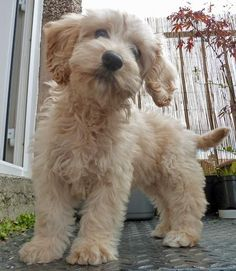 <3 Cockapoo Cute!  Maybe my boy is a cockatoo after all. He looks just like this.