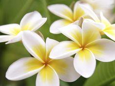 Flower of the Day: Plumeria