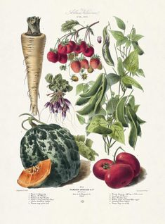 1879 VILMORIN. 1. Panais de Guernsey. 2. Fraisiere Dr. Morère. 3. Haricot du cap marbré. 4. Radis 1/2 long violet bout blanc. 5. Melon cantaloup d'Alger. 6. Tomate rouge grosse lisse.