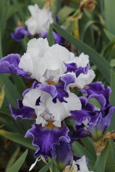 "~Tall Bearded Iris ""Planeur"""