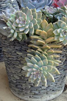 ghost plant, graptopetalum paraguayense, in a pot that looks like miniature field stones. from @Debra Lee Baldwin's succulent container gardens