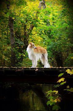 Borzoi in the autumn landscape. #animals #dogs #borzoi