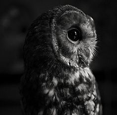 #Owl #Photography #Black