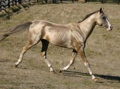 Pasha 4. Altyn Gush Akhal Tekes. Info of the lines in http://www.akhal-teke.org/at-lines.html