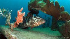 Grouper on Shipwreck underwater in Roatan Honduras