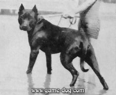 Captain Charles K. Bassett of Buffalo, New York started his own strain of black #APBT in the early 1930's.