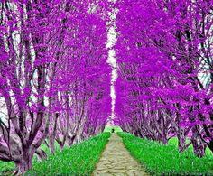 Purple tree pathway
