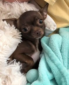 Kittens And Puppies, Cute Dogs And Puppies, I Love Dogs, Doggies, Cute Small Animals, Cute Baby Animals, Really Cute Puppies, Chihuahua Puppies, My Animal