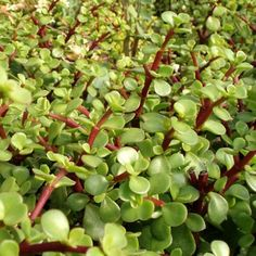 Crassula Portulacaria afra: Small round green leaves with red stems. If left alone to grow this plant will make a tree. Easy to control with cutting and works well for bonsai. Drought tolerant. Tender soft succulent - will not tolerate frost. Great for living wreath or wedding. $4.50