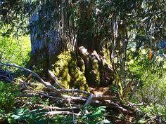Alaskan Yellow Cedar at the Echo Basin Trail in Oregon. little-things-apoth | Blog