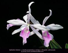 Epliaelia Sedona = Laelia Purpurata V. Carnea X Encylia Adenocaula Orchid