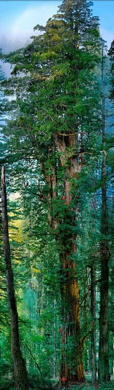 """The first ever seamless photograph of an entire redwood tree.  Photographer Nick Nichols and National Geographic built a robotized rig with three cameras to capture this enormous 1,600 year old redwood tree in California. The final composite is stitched together from 84 photos."" • photo: Nick Nichols"