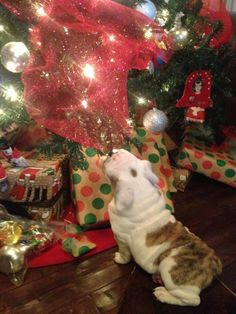 Where is my present? #Christmas #englishbulldog #breed #english #bulldog #best #dogs #cute #bulldogs #dog #pets #animals #canine #pooch #bullies #presents