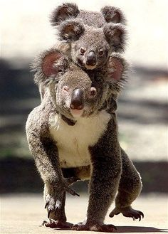 All aboard! Koala carrying her cubs on her back in Australia Nature Animals, Animals And Pets, Wild Animals, Strange Animals, Beautiful Creatures, Animals Beautiful, Cute Baby Animals, Funny Animals, Australian Animals