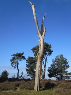 Dead tree Broc Hill Cannock chase