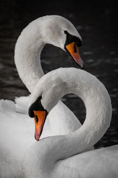 you know why i love birds is because each species is so unique. Swan Love, Beautiful Swan, Beautiful Birds, Animals Beautiful, Cute Animals, Pretty Birds, Love Birds, Cygnus Olor, Swan Pictures