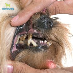See what happens when you feed a raw-fed dog a kibble diet ... (but don't look if you have a weak stomach)👇