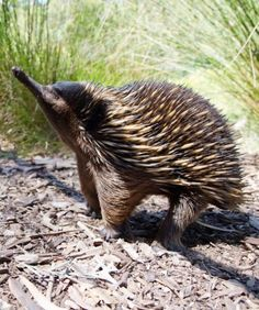 Echidna - one of two egg laying mammals We saw this with Jack Hanna
