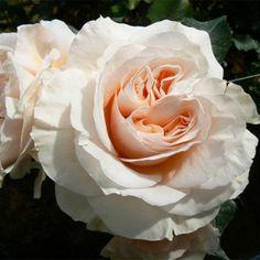 peach white flowers