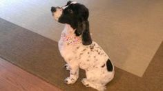 Maggie (WA) is an adoptable English Cocker Spaniel Dog in Seattle, WA. Maggie is in Washington state Maggie is a beautiful and lovable 9-year old black and white�female who enjoys long walks,�swimming...