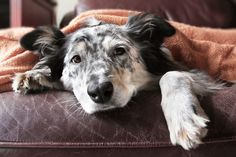 WayCoolDogs shares first-hand tips on dog health care, dog training, how to choose that perfect pet, about dog breeds, and dog training! We also post daily pictures of dogs and puppies. Perros Border Collie, Pancreatitis In Dogs, Canis, Dog Hot Spots, Dog Illnesses, Dog Shaking, Sick Dog, Can Dogs Eat, Pet Health