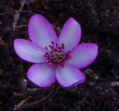 """""""Hepatica japonica Hyoujunka, Hepatica japonica Omome-zaki."""""""