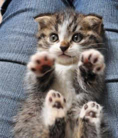 cute kitten 子猫レオンの悩殺ポーズ