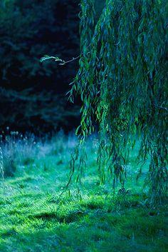 Weeping Willow by *Eblis-Images Disney Aesthetic, Nature Aesthetic, Princess Aesthetic, Blue Aesthetic, Weeping Willow, Willow Tree, Weeping Trees, Disney Pocahontas, Disney Princesses
