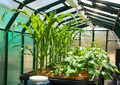 Corn and Okra growing in our Aquaponics World, LLC, proof of concept Greenhouse. We share this Greenhouse with our sister company, Aquaponics USA. Corn and Okra are two important crops for food security in developing countries.