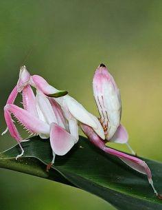 ˚Orchid Mantis - Mantodea, Hymenopodidae: Hymenopus coronatus by angiud @ Flickr