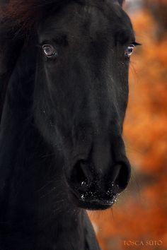 Negra crin, suave pelaje y mirada de terciopelo, negra furia en el amanecer olvidada.