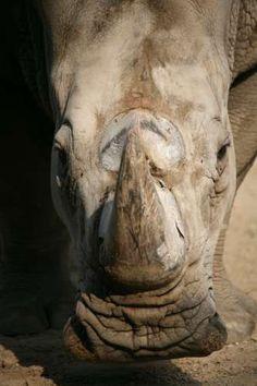 Tierischer Irrtum: Nashorn-Hörner steigern die Potenz