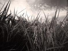 収穫の秋 photo by Tsutomu Komine