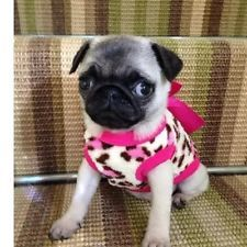 Chihuahua Pug Small-LXS Size Cosy Fleece Leopard top & Pink Bow Pet Dog Clothes