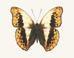Butterfly Photo No. 6 - Cymothoe herminia - Herminia Glider Butterfly Print