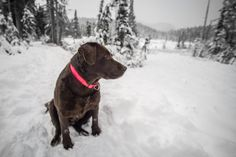 Bella hanging out in Strathcona Provincial Park Vancouver Island, Hanging Out, Labrador Retriever, Canada, Explore, Adventure, Park, Travel, Labrador Retrievers