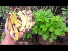 YouTube Woodworking Techniques, Plantar, Make It Yourself, Bananas, Fruit, Google Translate, Youtube, Gardening, Tips