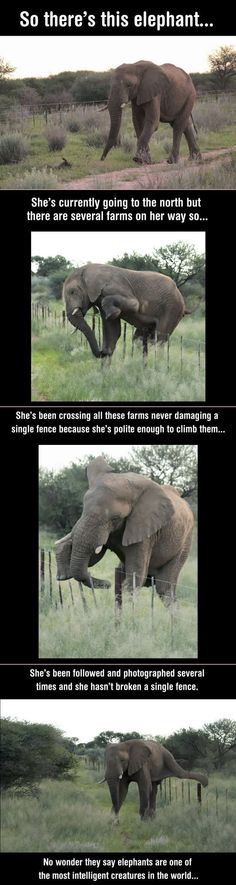 Elephant Tiptoes Over Fence Instead Of Trampling It Funny animals, funny animal pictures .For more hilarious animals visit /Funny animals, funny animal pictures .For more hilarious animals visit / Cute Funny Animals, Funny Animal Pictures, Funny Cute, Funny Images, Funny Photos, Hilarious Sayings, Elephant Pictures, 9gag Funny, Dog Pictures