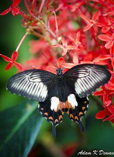 Fuscous Swallowtail (Papilio fuscus)