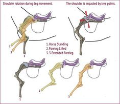 English saddle tree diagram website lists parts of the saddle in saddle fit and lameness ccuart Choice Image