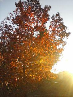 atardecer en el arbol de hojas rojas