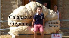 Calabazas gigantes. Valtierra, Navarra.