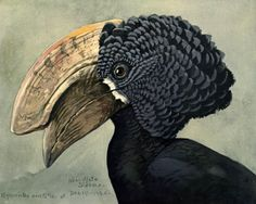 Helmeted hornbill.  Album of Abyssinian birds and mammals | Chicago :Field Museum of Natural History,1930