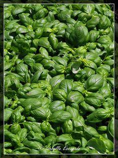 Provence, le basilic... http://mistoulinetmistouline.eklablog.com/