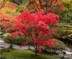 De japanse esdoorn een mooie boom wat vaak word geplant in tuinen voor de mooie kleur.