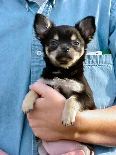"""(Too) many years ago, we had a litter of 6 wawa pups. This is """"Fuzzy Bear,"""" at 14 weeks."""