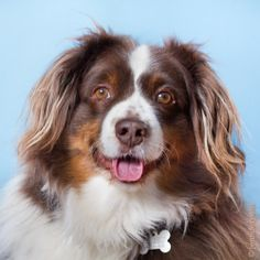 Meet Rusty in Petfinder's Fit FurKeeps Gallery. Rusty is a 6 year old male Australian Shepherd. He is a quiet dog, who loves to ride in the car.